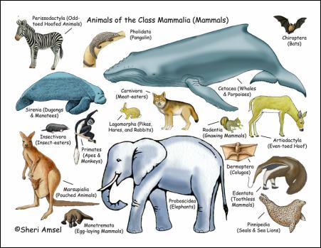 Mammalia Mammals Phylum Chordata